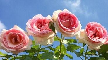 6月必去!岡山玫瑰饗宴