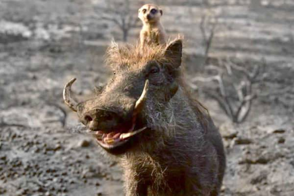 10 Fakta Pumbaa dan Timon, Scene-stealer di The Lion King
