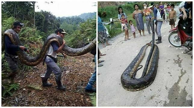 馬來西亞婆羅洲一處村民捕獲一條6公尺長的母巨蟒,將牠煮來吃了。(圖/翻攝自臉書)