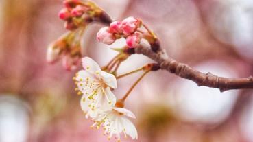 去日本旅遊不用再怕搞錯出糗!梅花、櫻花、桃花、杏花懶人分辨法