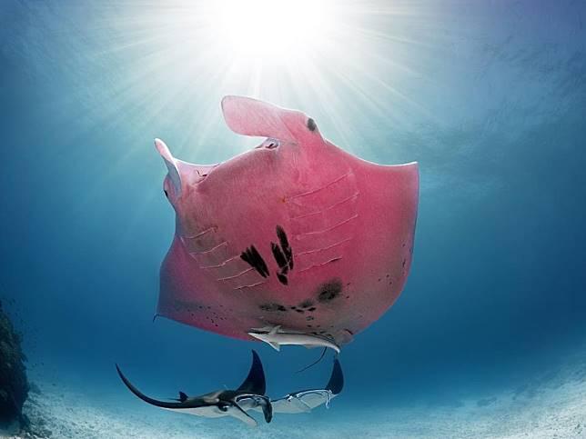 深海攝影奇遇罕見「粉紅大蝙蝠」 竟是全世界唯一一隻!
