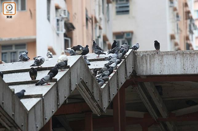 野鴿站滿天橋頂和附近屋簷,糞便和毛屑隨時從天而降。