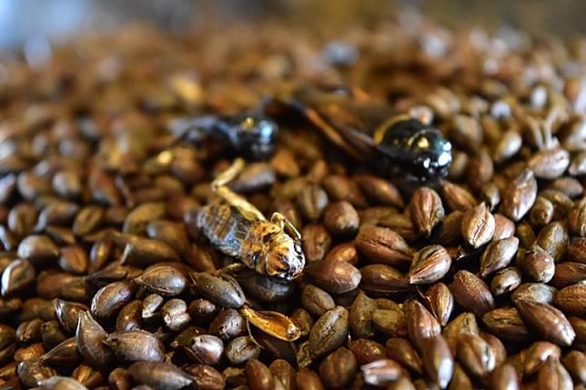 經烘烤的黃斑黑蟋蟀及麥芽,發出陣陣濃郁的香味,正呀!(互聯網)
