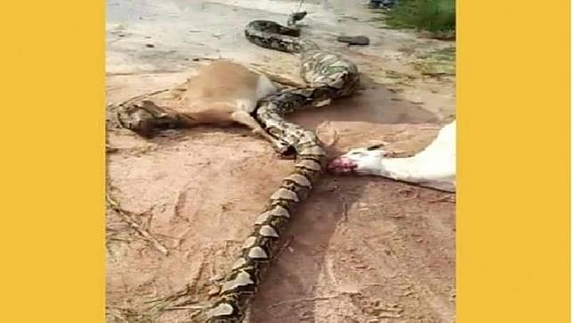 Dua ekor kambing mati, sedangkan satu ekor lainnya sudah ditelan oleh ular piton