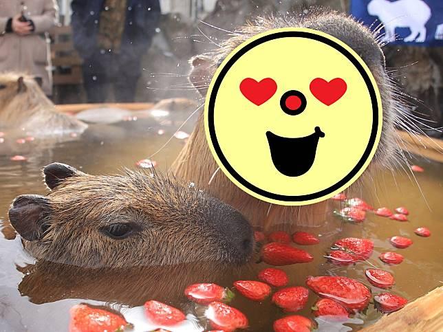 季節限定!日本水豚爽泡奢侈草莓浴 舒服到表情超浮誇