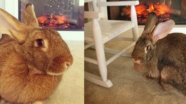 超級巨兔肥到脖子出現圍巾,寒冷的冬天看到牠都暖了~