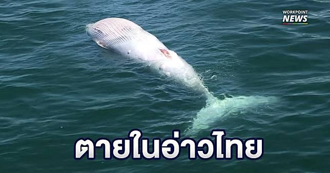 เร่งผ่าซาก 'วาฬบรูด้า' หาสาเหตุการตายก่อนซากเน่า
