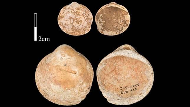 Kerang yang digunakan manusia prasejarah untuk dipakai sebagai kalung.