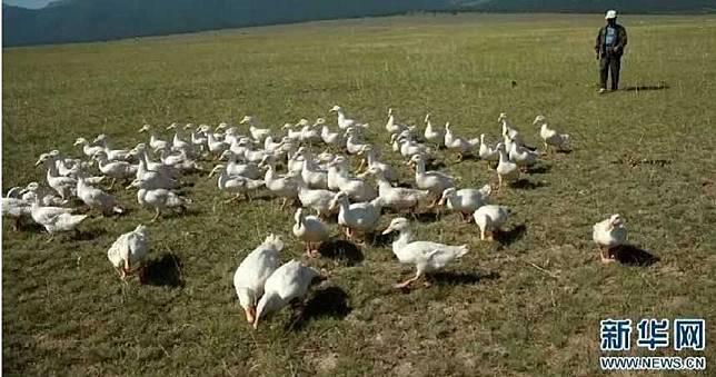 10萬鴨鴨出征!赴巴國治蝗災…地毯式搜捕「1隻滅蝗蟲全家」