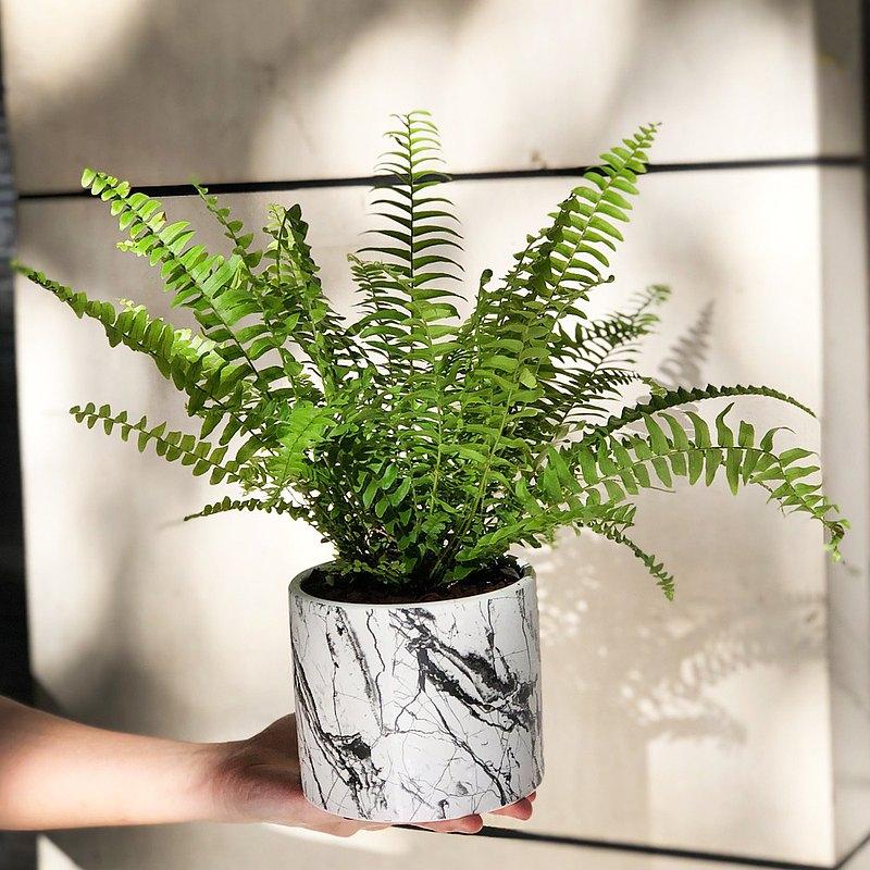 質感升級 大理石紋 波士頓腎蕨小品盆栽   居家辦公好夥伴 WFH