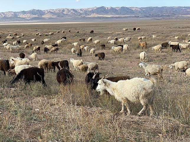 參觀完Charyn Canyon,沿路有很多馬和羊。(FoodieCurly鬈毛妹提供)