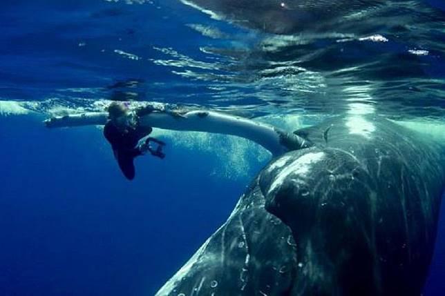 Seekor paus melindungi penyelam dari serangan hiu di kepulauan Pasifik