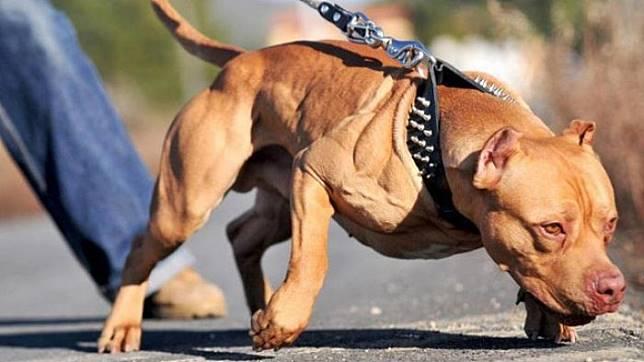 Simak! 25 Fakta Menarik Anjing Pitbull Yang Sering