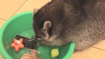 好氣又好笑!浣熊認真幫忙做家事 洗的卻是主人的____!