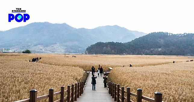 ทุ่งดอกหญ้าพลิ้วไหวสุดลูกตาที่ Suncheonman Bay