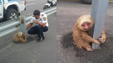 這隻樹懶嘗試想跨過高速公路 結果被恐怖的車速給嚇壞而困住了...