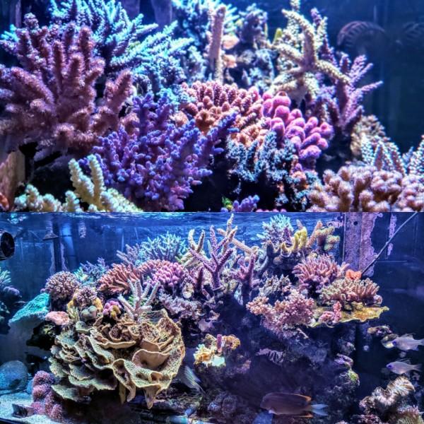 種類 サンゴ 珊瑚の色と種類を一覧でご紹介!値段&特徴は?【まとめ】