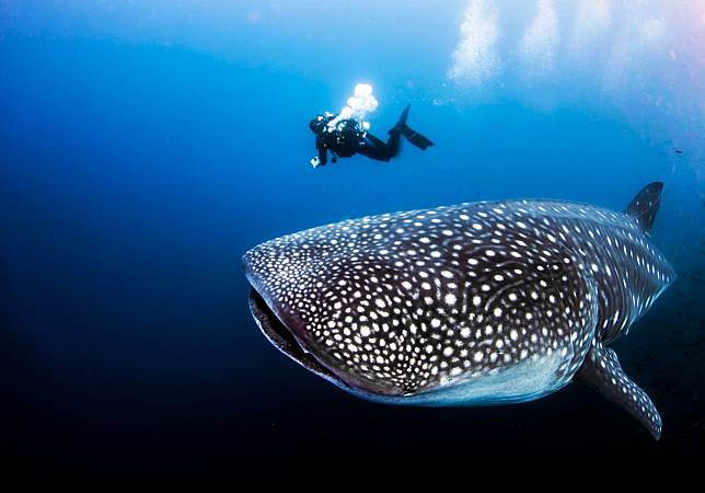 Hiu paus harus selalu berenang untuk bisa bernapas