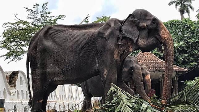 Tikiiri ช้างแก่วัย 70 ปี ผอมโซ แต่ยังคงต้องทำการแสดงในงานเทศกาลที่ศรีลังกา