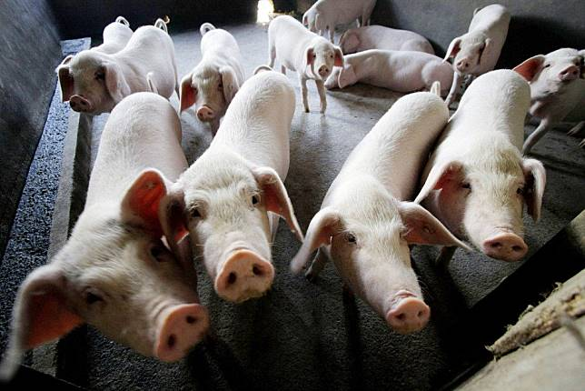African swine fever has now spread to all parts of China, posing threat to pork industry