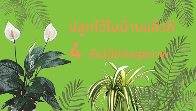 ปลูกไว้ในบ้านแล้วดี! 4 ต้นไม้ดีต่อสุขภาพ ปรับอากาศ เพิ่มออกซิเจนในห้อง