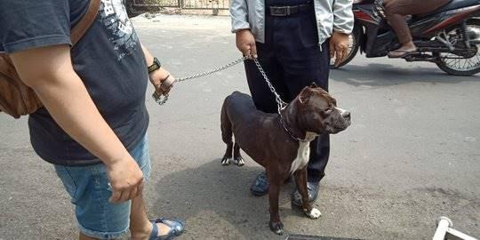 Anjing Jenis Pitbul Serang Satpam Komplek Rajawali Sawah Besar. ©2018 Merdeka.com/Nur Habibie