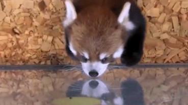 蘋果片加一隻小熊貓就能讓網友崩潰:「我要打包回家!」