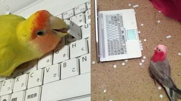 鸚鵡可愛的外表之下 牠們都是「鍵盤破壞王」