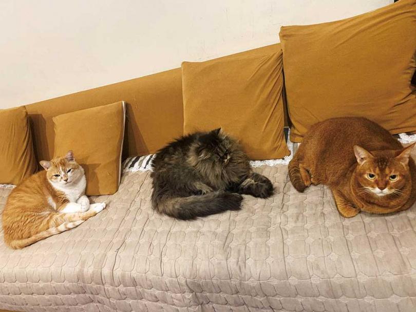 雖然一開始3隻貓水火不容,但經過半年同居,已經可以和平共處。由左至右:大咪、小花、橘橘。(圖/小Call提供)