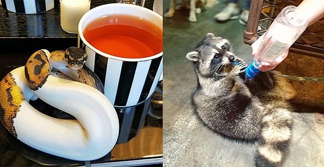 這個下午茶好特別~從浣熊到蜥蜴都有,動物咖啡廳歡迎入座