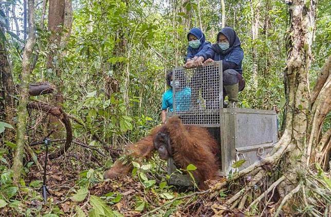aman Nasional Gunung Palung (Tanagupa) kembali menerima seekor orangutan jantan liar dewasa hasil penyelamatan bersama antara Tim Wildlife Rescue Unit (WRU), Balai Konservasi Sumber Daya Alam (BKSDA) Seksi Konservasi Wilayah I Ketapang, Yayasan IAR Indonesia, Yayasan Palung dan Lembaga Pengelola Hutan Desa (LPHD) Penjalaan