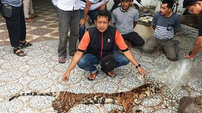 Kulit harimau sumatra yang disita personel Polda Riau dari sindikat pemburu harimau di Indragiri Hulu.