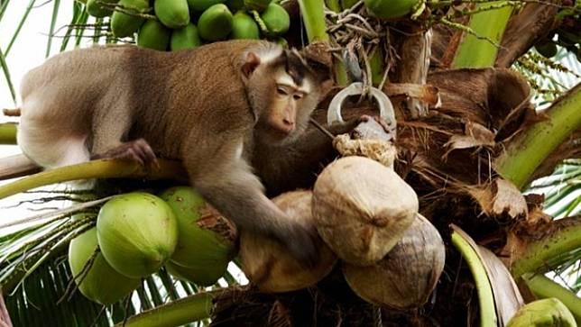 นายกสมาคมผู้ผลิตอาหารสำเร็จรูปแห่งประเทศไทย เชื่อประเด็น อังกฤษสั่งสอบลิงเก็บมะพร้าวในไทย ไม่กระทบส่งออกกะทิ