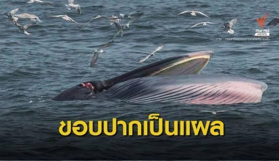 พบวาฬบรูด้า