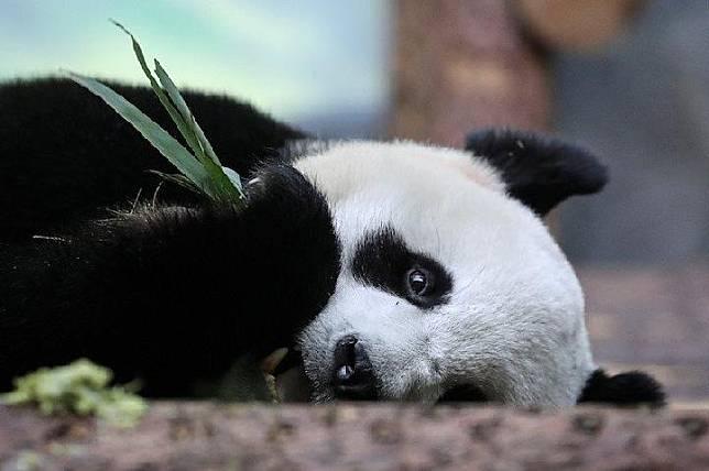 Panda raksasa di Kebun Binatang Moskow yang ikut terdampak wabah COVID-19. Kebun binatang terpaksa ditutup untuk umum karena pemberlakuan karantina wilayah untuk menghambat penyebaran penyakit virus corona 2019 itu. (REUTERS/Evgenia Novozhenina)