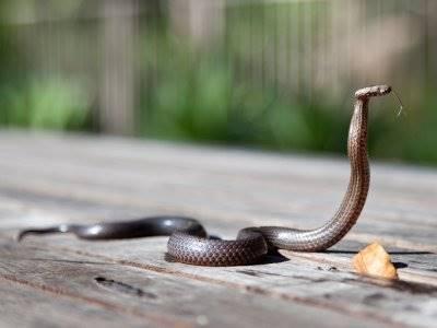 'Teror' Ular Kobra Resahkan Warga, Kenali Jenis-jenisnya