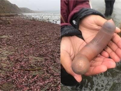 Serba-serbi 'Ikan Penis' yang Terdampar di Pantai California