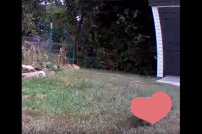 ▲農作物頻被偷,男子裝監視器拍到小偷蹤影。(圖/翻攝自  Chunk The Groundhog Youtube )