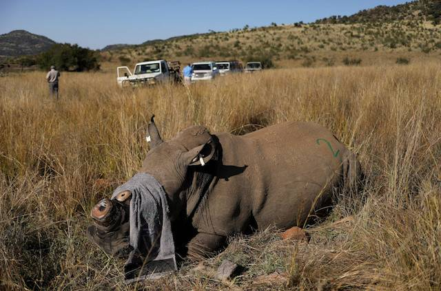 A rhino that has been dehorned in an effort to deter poaching lies on the ground, amid the spread of the COVID-19, at the Pilanesberg Game Reserve in North West Province, South Africa, May 12, 2020.
