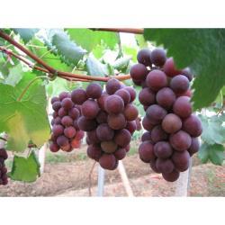◎卓蘭的葡萄色澤美-呈現紫黑色每顆果實經水洗後還會發亮br第二果實硬度佳--葡萄硬度好吃起來入口後一顆一顆有咬勁br第三果實果粉佳--果粉濃厚、果實上常會披附著一層粉白的美麗果粉,果粉越多果實的甜度越