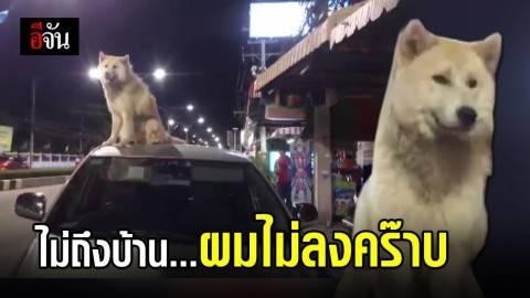 น้องหมาพันธ์บางแก้วปีนหลังคารถ ไม่ยอมลง จนต้องกลับไปส่งที่บ้าน
