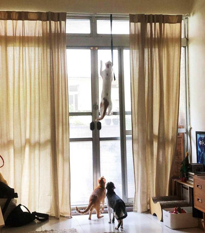 3隻貓精力充沛,為了抓蟲把紗窗都抓破了。(圖/王渝萱提供)