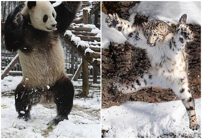 熊貓與雪豹