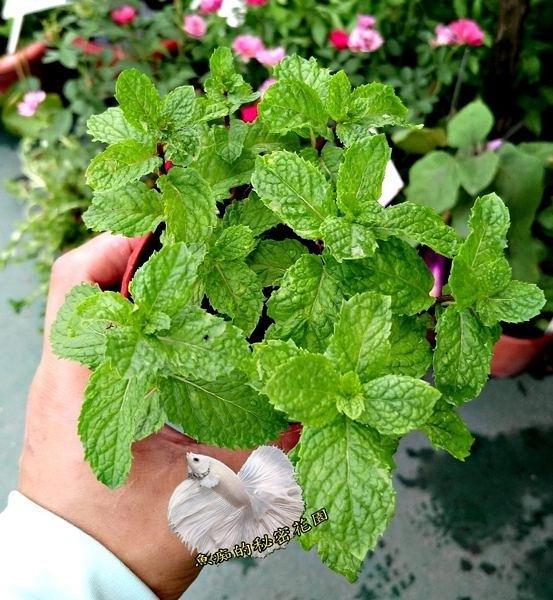 香草植物 綠薄荷盆栽 3吋盆活體盆栽, 可食用可泡茶