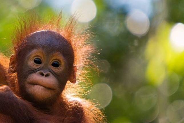 Since 2019, WWF Indonesia and Amazon Web Services have operated a facial recognition tool prototype that helpsidentify individual orangutans in their habitat in less than 10 minutes.