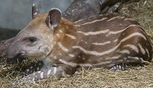 28+ Hewan tapir berasal dari terupdate