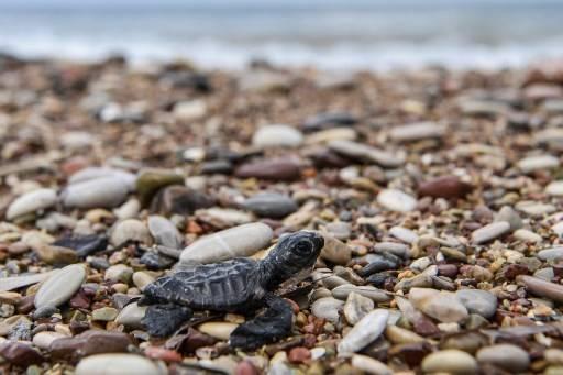 เต่าหัวค้อนมีโอกาสรอดชีวิต 1 ใน 1,000 ตัวเท่านั้นหลังฟัก และเดินจากชายฝั่งสู่ทะเล ARIS MESSINIS / AFP