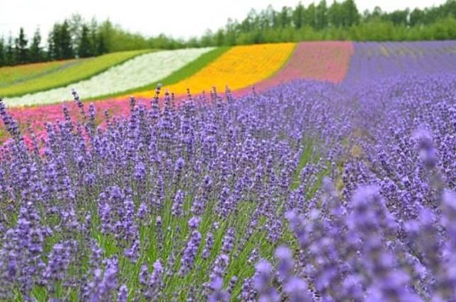 北海道的薰衣草季一般由6月下旬開始,著名的薰衣草花園有四季彩之丘、富田農場等。(互聯網)