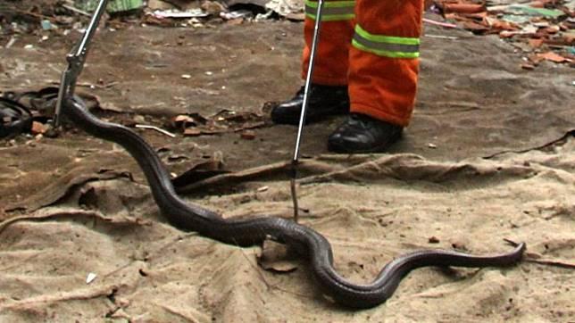 Petugas dinas pemadam kebakaran melakukan evakuasi seekor ular King Kobra (Ophiophagus Hannah) saat ditemukan di kawasan permukiman warga Jakasampurna, di Bekasi, Jawa Barat, Kamis 12 Desember 2019. Temuan  King Kobra dengan panjang dua meter tersebut berawal dari laporan warga, selanjutnya ular diserahkan ke komunitas reptile. ANTARA FOTO/Risky Andrianto