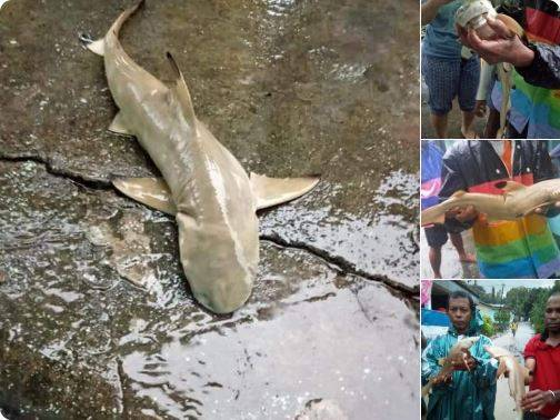 Viral fenomena kemunculan ikan hiu terbawa arus dari gunung Cyclops usai bencana banjir bandang yang melanda Sentani, peneliti jelaskan penyebabnya